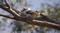 Kookaburra (Dacelo novaeguineae) enjoying the kill & the feed!!! (darrylkirby) Tags: nature dacelonovaeguineae laughingkookaburra kookaburra kookaburraeatingsnake brownsnake