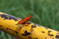 Borboleta bairro São João JM - Wir Caetano - 26 04 2017 (15) (dabliê texto imagem - Comunicação Visual e Jorn) Tags: borboleta inseto amarelo escada ferrugem