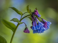 Virginia Bluebells (Bernie Kasper) Tags: art berniekasper blue cliftyfallsstatepark cliftyfalls color d600 flower family floral flowers green hiking indiana indianawildflowers jeffersoncounty light leaf leaves love madisonindiana macro madisonindianacliftyfallsstatepark nature nikon naturephotography new outdoors outdoor old outside photography plant park raw spring sigma statepark travel trail wildflower wildflowers