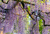 DSC_1660 (sayo-tsu) Tags: 藤 wisteria 牛島のフジ 春日部市 埼玉県 kasukabe saitama 特別天然記念物