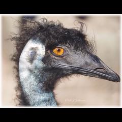 This Emu is having a bad hair day. (debjohnson3) Tags: browneye skin earhole nostril eye bird curlyfeathers beaks largebird flightless australianbird closeup curly emu instagramapp