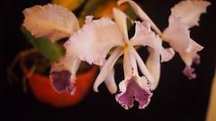C. warneri var. coerulea (Orchideen Ingolstadt) Tags: cattleya warneri var coerulea
