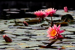 Beautiful nature (Roi.C) Tags: lily waterlily flowers nature outdoor season spring nikon nikond5300 nikkor