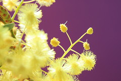 Yellow thingies (alideniese) Tags: acaciagoldenwattle acaciapycnantha goldenwattle wattle australiannativeplant plant flower yellow bright nature macro closeup light purple colour colourful inflorescences buds stamens fluffy