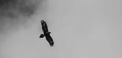 Wedge tail Eagle (AWLancaster) Tags: eagle wedgetaileagle australian native birding sony 50500mm lightroom blackandwhite bw birds photowalk clouds