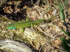 Western green lezard (Lanceflot) Tags: western green lezard france ain bugey moutains countryside landscape ground crawl leaves reptile blue colorful tongue defense hunting wildlife nature animal lacerta bilineata macro grass outdoor plant