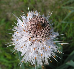 Asphodelus arrondeaui - L'asphodèle d'Arrondeau ou Bâton blanc d'Arrondeau - 13/05/12 (Philippe_Boissel) Tags: asphodelusarrondeaui lasphodèledarrondeau bâtonblancdarrondeau liliales xanthorrhoeaceae liliaceae europe france bretagne morbihan latrinitésurmer 006