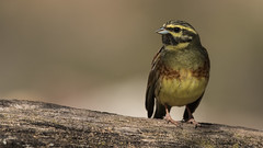 526.2 Cirlgors-20170407-J1704-52085 (dirkvanmourik) Tags: cirlbunting cirlgors corvisser emberizacirlus escribanosoteño ineziatoursgierenfotografiereisapril2017 spanje vogelsvaneuropa bird