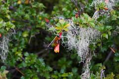 (gustavo coronado) Tags: parque nacional nahuelbuta malleco chile araucarias desfontainia spinosa bombusdahlbomii