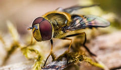Details of a Hoverfly (BaRon_Pix) Tags: portrait beauty eyes macro outdoor beautiful closeup natural animal fly insect germany wildlife wings makro wild detail bug nature springtime hoverfly compound photograph