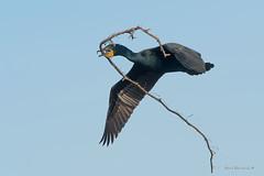 The big schtick (Earl Reinink) Tags: bird animal waterfowl nest spring cormorant doublecrestedcormorant earl reinink earlreinink nature naturephotography niagara ontario canada urzddahdia