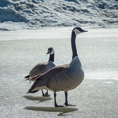 Canada Geese (GeoKs) Tags: calgary downtown spring nearbynature canadagoose
