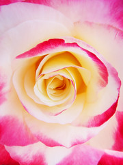 Pink and White Rose Petals (shaire productions) Tags: petals macro detail photography flower floral image yellow bright vibrant plant vegetation picture nature growth rose beauty photo photograph shaireproductions sherriethaiphoto abstract abstraction view center artistic artsy spring summer transition