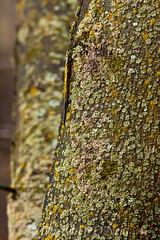 Lichen on Maple 3 (LongInt57) Tags: lichen moss fungus fungi maple tree trunk green grey gray brown nature garden kelowna bc canada okanagan yellow