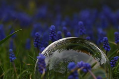 Blaue-Kugel (tanjaettl) Tags: traubenhyazinthen blau kugel glass sphere nikond5500 mirror spiegel