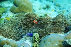 Found Nemo! (Landersz) Tags: philippines filippine coron palawan club paradise snorkeling turtle shark clownfish nemo dugong landersz canon 5dmk3 nimar gopro hero5