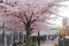 Coal harbour -cherry blossoms (yuanxizhou) Tags: westcoast britishcolumbia canon flower awesome amazing beautiful coalharbor city tourist spring vancity vancouver street pink blossoms cherry