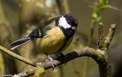 Great Tit (Amanda Nicoll) Tags: greattit wildlife birds outdoors countryside withybushwoods woods pembrokeshire