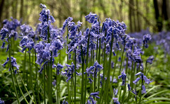 Bluebells of Faversham (Tony_Brasier) Tags: bluebells woods bysingwood faversham kent dog walk green trees nikon d7200 16mm85mm smileonsaturday seasonsbeauty