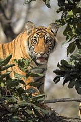 Tree climbing cub (dickysingh) Tags: tiger ranthambore ranthambhorenationalpark india wild wildlife