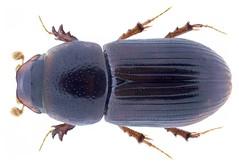 Nialaphodius nigrita (Fabricius, 1801) Syn.: Aphodius (Nialus) nigrita Fabricius, 1801 (urjsa) Tags: coleoptera kaefer beetle insect scarabaeidae namibia afrika africa taxonomy:binomial=nialaphodiusnigrita taxonomy:order=coleoptera taxonomy:family=scarabaeidae taxonomy:genus=nialaphodius taxonomy:species=nigrita geo:country=namibia coleopteraus insekt käfer taxonomy:family=aphodiidae aphodiidae nialaphodiusnigrita nialaphodius