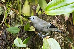 IMG_6732  Palm Tanager (ashahmtl) Tags: palmtanager bird tanager songbird passerine thraupispalmarum santadeonearmindo pichinchaprovince ecuador