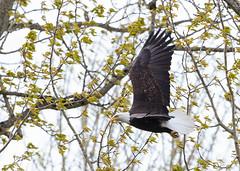 Bald Eagle (Peter Bangayan) Tags: eagles bald canon eos7d eos7dmarkii ef500mmf4lisusm wildlife nature birds birdsofprey washington juanitabaypark