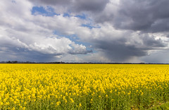 Rapeseed, clouds and some windmils (lique1304) Tags: rapeseed yellow landscape clouds cloudporn field farming westerwolde emsland canon hww