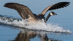 Canada Goose. (PRA Images) Tags: canadagoose brantacanadensis birds wildlife nature pilsworth