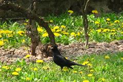 Great catch. (Marinyu..) Tags: feketerigó turdusmerula garden rigó betweenflowers pitypang kutyatej virágokközött