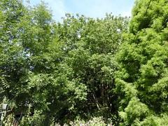 Wingnut (Chinese) (Hall Place Idler) Tags: wingnut chinese pterocarya juglandacae hallplace