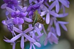 Long-tailed Skipper (ACEZandEIGHTZ) Tags: moth skipper longtailed urbanus proteus hesperiidae queenswreath purple flowers nature nikon d3200