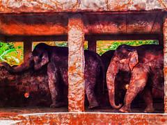 Jackson Pollock Elephants (Steve Taylor (Photography)) Tags: elephant hawaii zoo art digital animal green mauve orange purple paint texture splash pollock