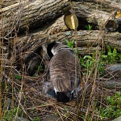 Canada goose at the nest (Dave_A_2007) Tags: bird goose nature wildlife stratforduponavon warwickshire england