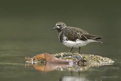 Black Turnstone in Summer Plumage (Chantal Jacques Photography) Tags: intransformation summerplumage blackturnstone wildandfree bokeh intransition esquimaltlagoon wildlife nature