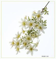 Clemetis (margaret_99) Tags: flower macro clemetis white