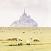 Mont Saint-Michel Bay and the sheep