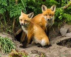 IMG_2617 fox kits (starc283) Tags: flickr flicker fox foxkits kit kits starc283 canon canon7d nature naturesfinest wildlife predator