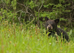 Black Bear Cub...#7 (Guy Lichter Photography - 3.4M views Thank you) Tags: canon 5d3 canada manitoba rmnp wildlife animal animals mammal mammals bear bears blackbear cub