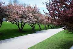 Blooming path (marensr) Tags: trees blooms flowering branches tress path lane pink green april chicago lakefront