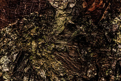 Life on a Dying Birch Tree (jessicalowell20) Tags: bark birchtree bown colony dying green lichen maine newengand northamerica rust texture tree white wood woolwich