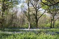 North Downs Way (Cymbidium Clarisse) Tags: cuxton circular kent countryside walk swcwalks swcwalk173 spring bluebells wood north downs way