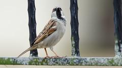 Proud male sparrow posing (Franck Zumella) Tags: proud sparrow male bird posing oiseau moineau fier