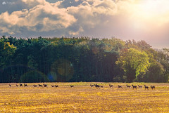 Born free... (Kerriemeister) Tags: deer run running herd crockey hill york clouds sky trees field