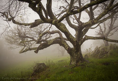 Rocky Knob Tree in Fog in Color (Pettygroves) Tags: tree fog blueridgeparkway 1740mmf4l rockyknob canon5dmkii