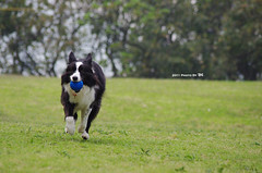 2011_0426_+13 (inmonkey62) Tags: dog flying coin collie pentax border dal bordercollie disc   kx 50300