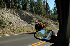 194 - Bison on the road (Scott Shetrone) Tags: animals events places yellowstonenationalpark bison mammals 7th anniversaries wymoing
