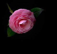 Camellia (NatashaP) Tags: pink flower blackbackground camellia supershot camelliajaponica japanesecamellia nikond800 roseofwinter