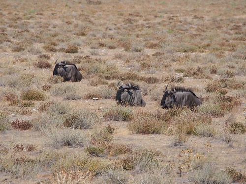3 Resting Blue Wildebeests