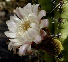 Organ pipe cactus bloom at Tucson Botanical Gardens, June 25 2013 (Distraction Limited) Tags: flowers arizona cactus gardens geotagged tucson flipit botanicalgardens tucsonbotanicalgardens tucsonbotanical stenocereusthurberi organpipecactus stenocereus 500px dembflipit cactusandsucculentgardens geo:lat=32247985 geo:lon=110908011 cactussucculentgardens
